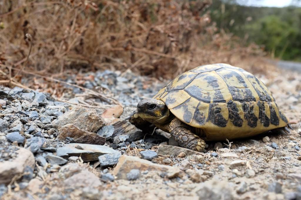 S'Albufera des Grau-tortue-parc-naturel-Minorque