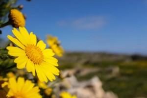 Une fleur sur l'île de Malte