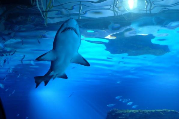 Un requin dans un bassin