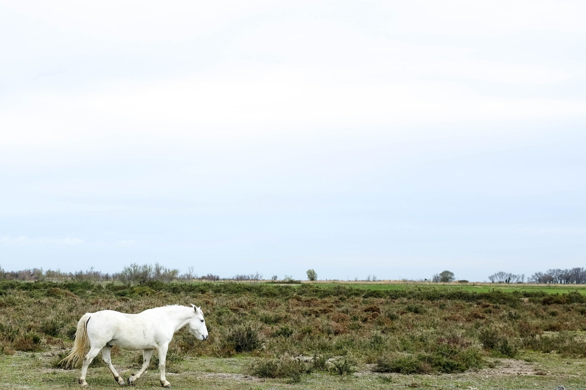 Camargue cheval