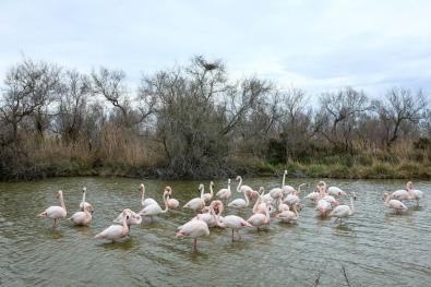 Les flamants roses du parc ornithologique en Camargue